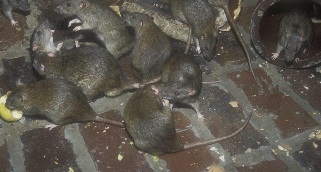 уничтожение крыс в Евпатории